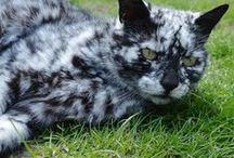 Scrappy the cat / La couleur noire mouchetée de blanc de Scrappy est exceptionnelle : ce vieux chat est atteint d'une maladie de la peau bien connue chez les humains, mais très rare chez les chats.