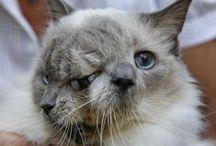 """Frank and Louie / Frank and Louie s'est éteint à l'âge de 15 ans. Une longévité exceptionnelle pour un chat à deux têtes, aussi appelé chat """"Janus""""."""