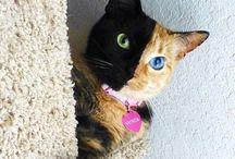 Vénus, double-face / Vénus est une chatte tricolore qui a un profil noir et un profil roux. Une particularité génétique qui fait encore débat chez les scientifiques.