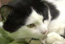 Pauly, multi-pattes / Pauly est un chat de gouttière noir et blanc qui a vécu dans la rue pendant 7 ans. Son histoire pourrait être (malheureusement) banale, s'il n'avait... 6 pattes ! Une association canadienne œuvre pour lui offrir une nouvelle vie.