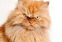 Garfi, chat vénère / Encore plus vénère que Grumpy Cat et Albert réunis... Voici Garfi !