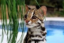 Savannah / Le Savannah est une nouvelle race de chat originaire des États-Unis. Ce chat de grande taille résulte du croisement entre un serval mâle et un chat domestique