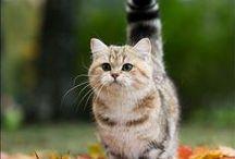 Munchkin Cat / Le Munchkin est une race de chat originaire des États-Unis. Ce chat est caractérisé par ses pattes très courtes, comparables à celles du basset de TéléZ
