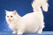 Napoleon Cat / Aussi appelé Minuet cat, le Napoleon est un croisement entre un Munchkin Cat et un chat Persan. On dirait Pollux du manège enchanté, non ?