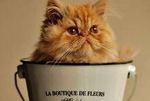 Persan Cat / Le persan est une race de chat à poil long originaire du Royaume-Uni. Ce chat de taille moyenne à grande est caractérisé par son poil long et abondant, sa silhouette toute en rondeur et son visage au museau très court.