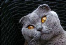 Scottish Fold / Le Scottish Fold et le Highland Fold sont deux races de chats originaires d'Écosse, qui se caractérisent par des oreilles repliées vers l'avant.