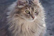 Le Sibérien / Le sibérien est une race de chat originaire de Russie. Ce chat de grande taille est caractérisé par sa robe à poils mi-longs.