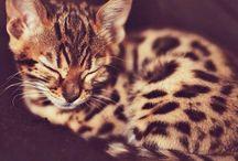 Bengale / Le Bengale résulte du croisement entre un chat domestique et le chat-léopard.