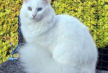 Angora turc / L'angora turc est une race de chat à poils mi-longs originaire de Turquie.