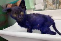 Smurf, le chaton bleu / Smurf, un petit chaton de Californie est récupéréau milieu des poubelles. Heureusement, le miracle de Noëlexiste : un refuge l'a sauvé des crocs de ses tortionnaires !
