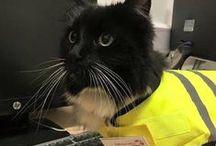 Felix the Huddersfield Station Cat / Felix est la gardienne de la station dans l'Est du Yorkshire, en Angleterre
