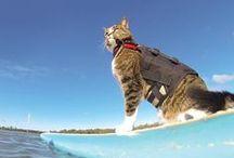 Didga, le chat surfeur / Qui a dit que les chats n'aimaient pas l'eau ?