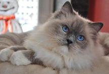 Chat Ragdoll / Le ragdoll est une race de chats originaire des États-Unis. Le nom de ce chat de grande taille provient d'une particularité étonnante : lorsqu'on le porte, il devient aussi mou qu'une poupée de chiffon, « ragdoll » en anglais.