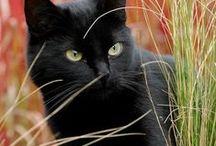 Chats noirs / Nos amis porte-bonheurs ! :)