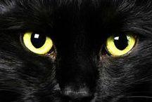 Le chat Bombay / le chat Bombay est né du rêve de Nikki Horner et du croisement d'un chat American Shorthair et d'une chatte Burmese brun dans les années 50.