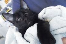 Alf le chat loucheur / La nouvelle mascotte de la clinique vétérinaire de New South Wales en Australie.