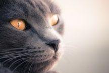 Chartreux / Célèbre chat de France !