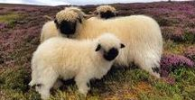 Schafe ♡