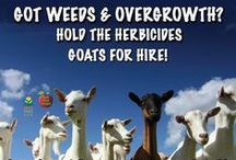 Raising Goats / Looking for an easy step into animal husbandry? Goats may be your solution! Here are some tips to keep your herd happy and healthy!