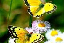 Beauteous Butterflies