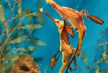 Sensational Sea Horses & Sea dragons