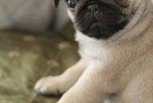 Animals:  Pugs, French, Brussel, Boston...