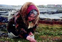 Harvesting tea herbs / Inuit hand-picked indigenous plants and berries in the tundra up North in Nunavik, Quebec. The plants and berries are then used to make the distinctive flavour and aromatics Délice Boréal Northern Delights Inuit Herbal Tea.
