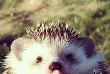 Süni/Hedgies / My favorite animal