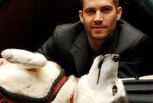 Siberian Husky / Pointy ears,husky ,siberian husky ,dog breed, snow dogs,sled dogs,blue eyes,blue and brown eyes,bushy tail