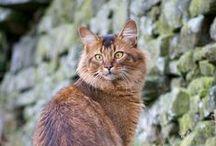 Cat That Looks Like A Fox Somali Cat looks...