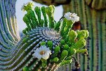 Habemus cactus