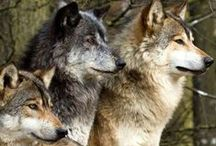 I Just Love Wolves / by Amy Gilham