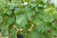 VINEYARDS / Award Winning Wines Since 1972. www.veedercrestwines.com