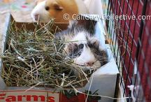 Guinea pig ideas / Guinea pig ideas for my beautiful Maisy and Panda