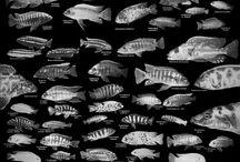 Cichlids / Cichlids