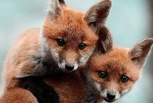 Foxy Loxy / All things fox, beautiful creatures