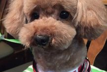 Sweet Nana <3 / All about my sweet Nana. A toy poodle. <3