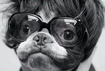Boston Terrier Addict