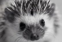 Hedgehog addict