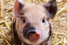 Pig addict