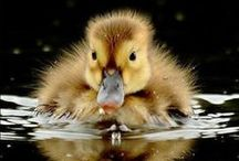 Duck addict