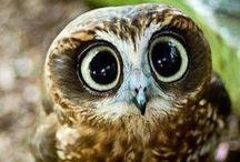 Owl addict