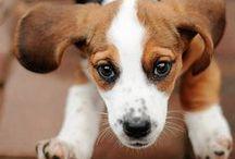 Beagle addict