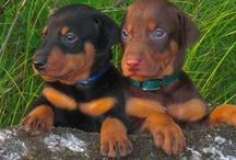Dobermann Pinscher / .