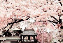 Cherry Blossoms Love
