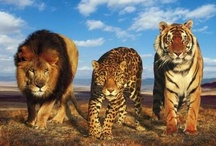 Big Cats of the Wild / My love of big cats. Such beautiful creatures. / by Jodie Wallace Ray
