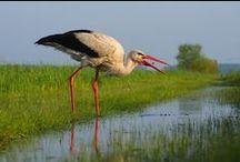 Stork / Stork