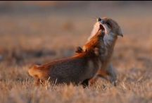 Foxes / Foxes