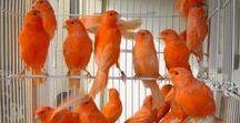 Canary birds / Kanári madár