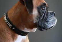 boxers! / A tribute to my beautiful eight year old boxer.Porsche, who died in May.We will never forget the love and laughter she brought to our lives. She will live in our hearts forever.I love her and miss her so much.       PORSCHE. ❤️❤️❤️❤️❤️❤️❤️❤️ / by paulette ford